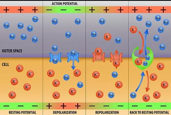 Concentration Gradient Definition Biology